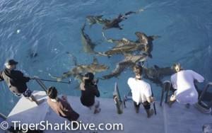 tiger shark dive pole cam