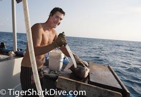 shark chum