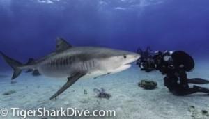 photograph tiger sharks