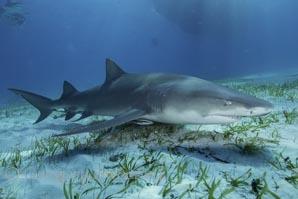 lemon shark at tiger beach