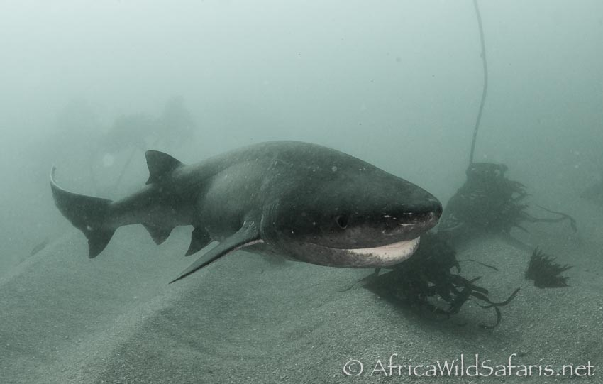 cow shark dive in Simons Town