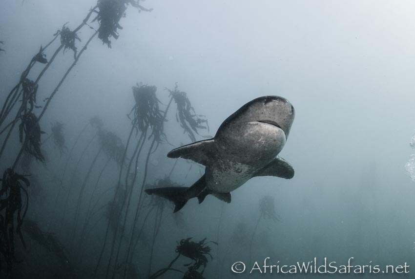 the cow sharks circle in the kelp