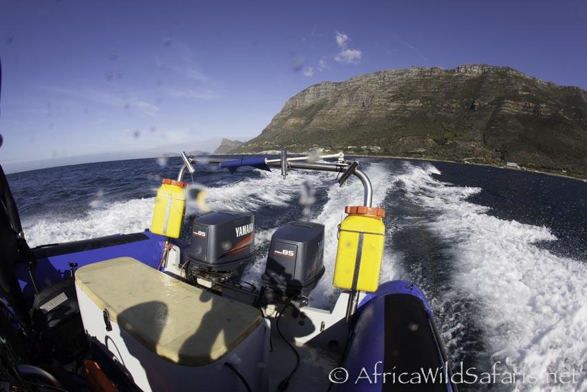 seven gilled cow shark dive