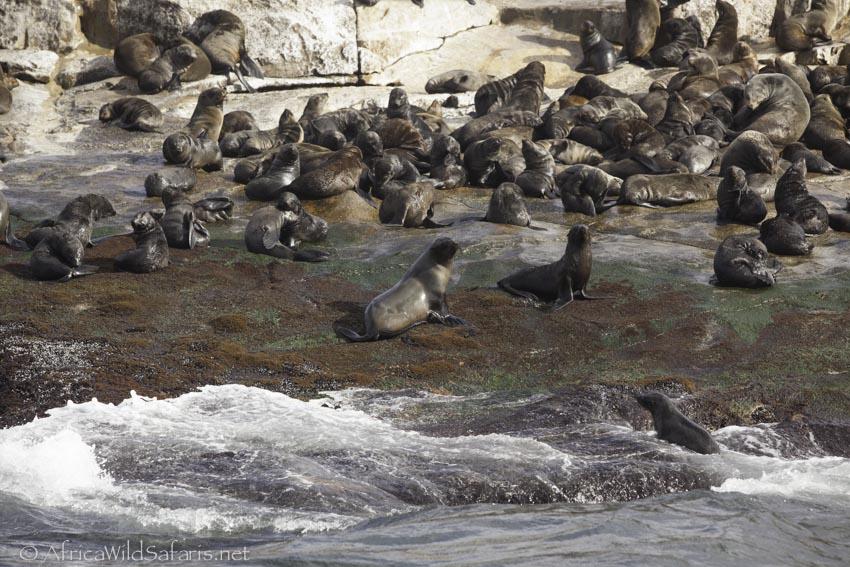 seals on Seal Island