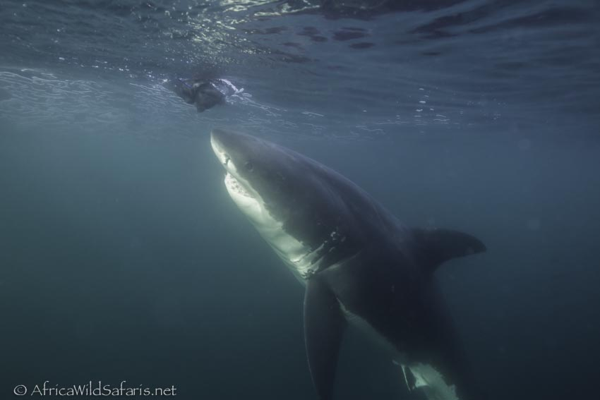 underwater view of a great white shark