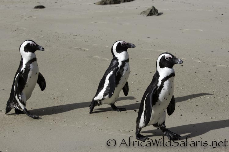 boulder_beach_penguins