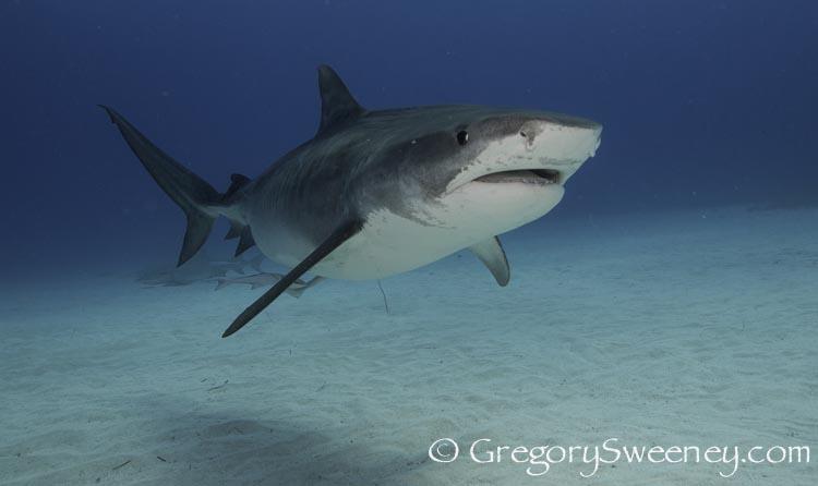cageless_tiger_shark_dive