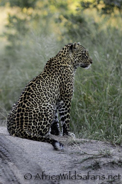leopard_safari