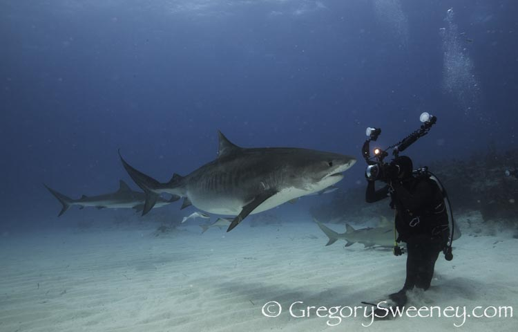 photograph_tiger_shark