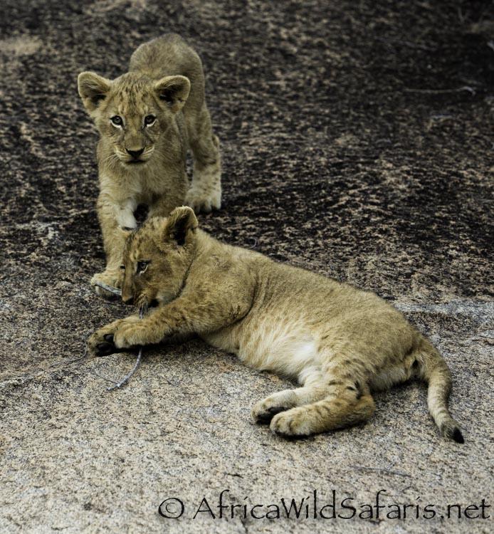 safari_with_lions