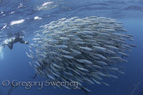 sailfish-2