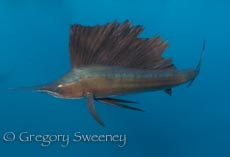 swimming with sailfish in Isla Mujeres Mexico