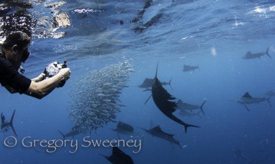 sailfish-3