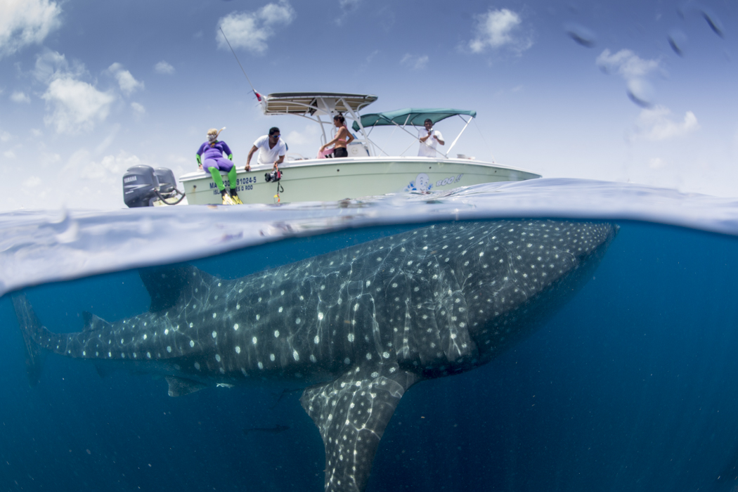 swimming with whale sharks in the gulf of Mexico
