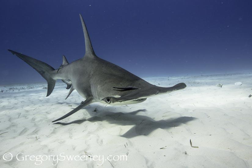scuba with great hammerhead sharks in Bahamas