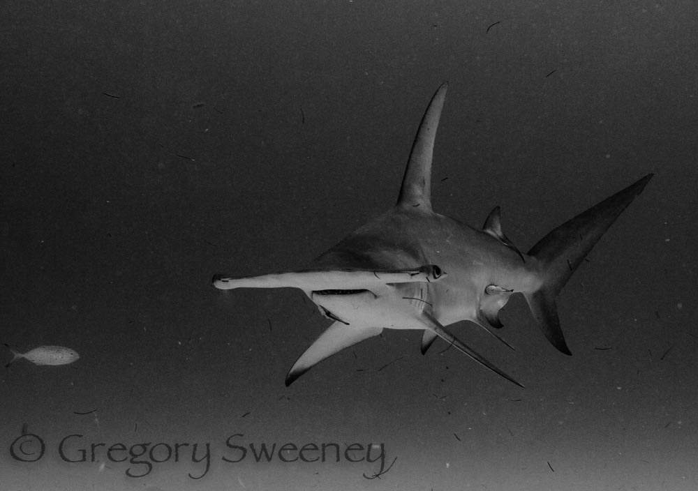 black and white photo of a hammerhead