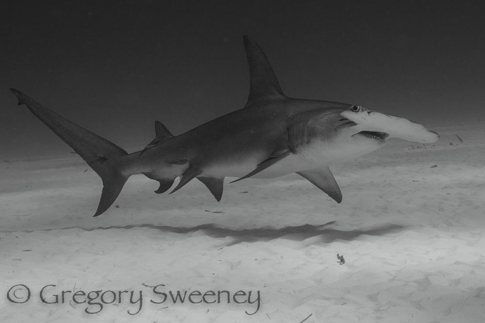 close encounters with hammerheads
