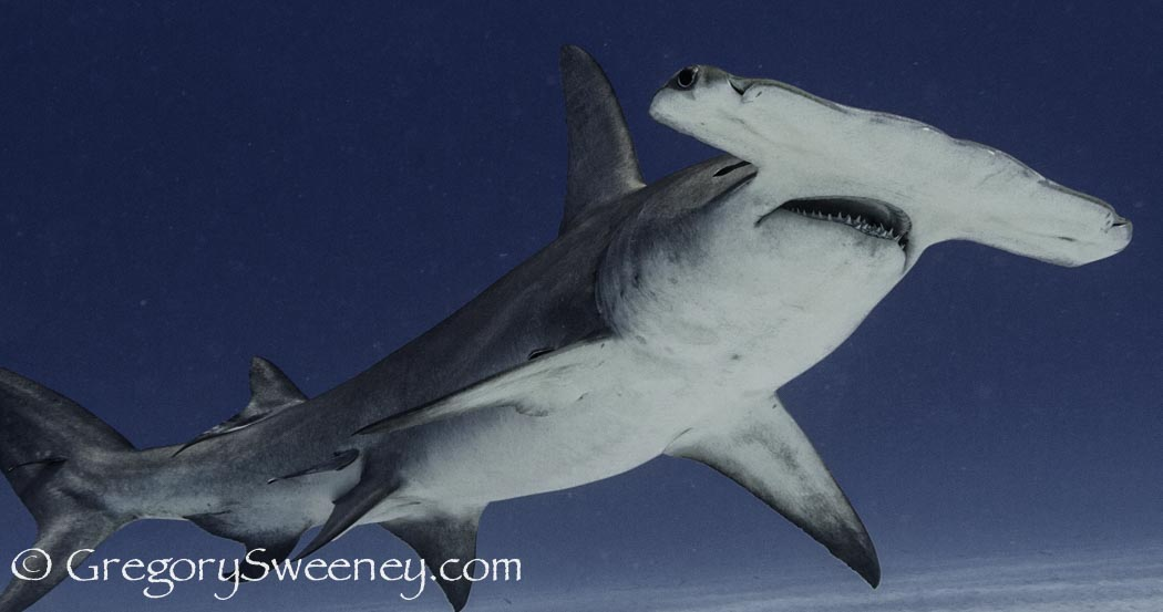 trips to see great hammerhead sharks