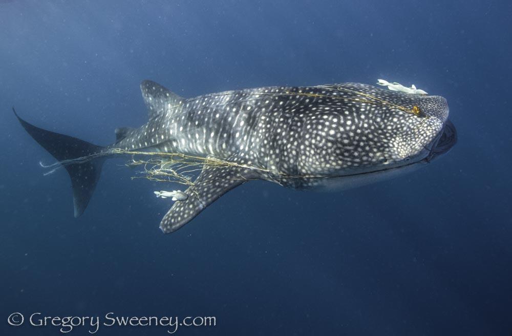 a whale shark dragging a net