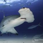 hammerhead shark bimini