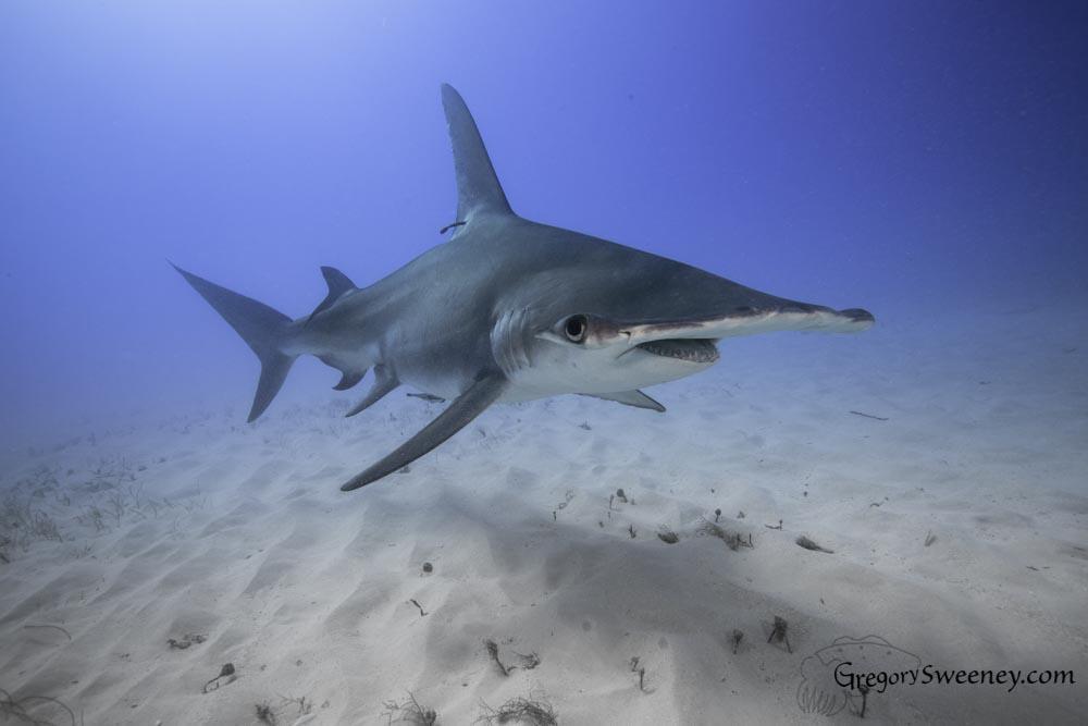 swim with hammerhead sharks bimini