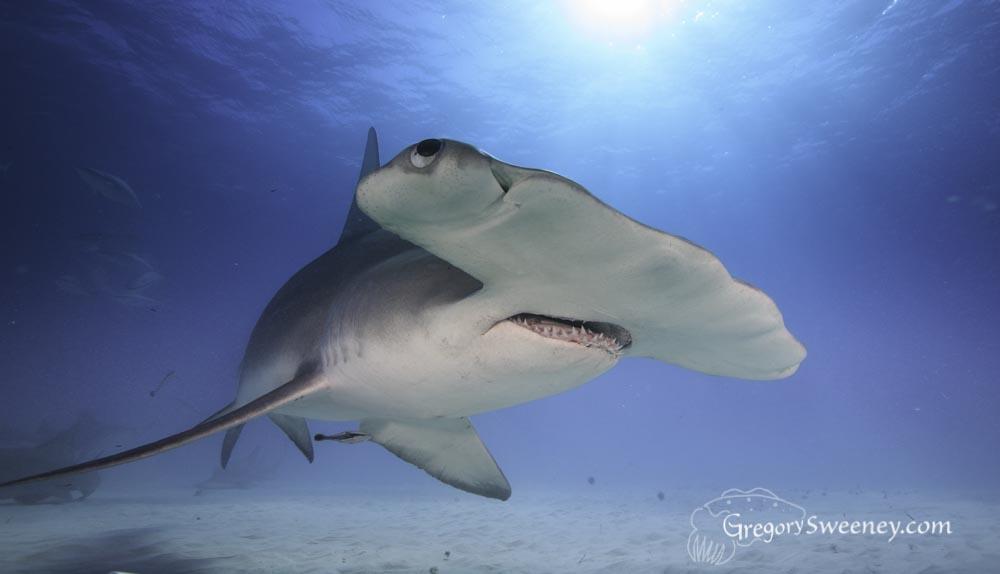 photograph great hammerhead sharks