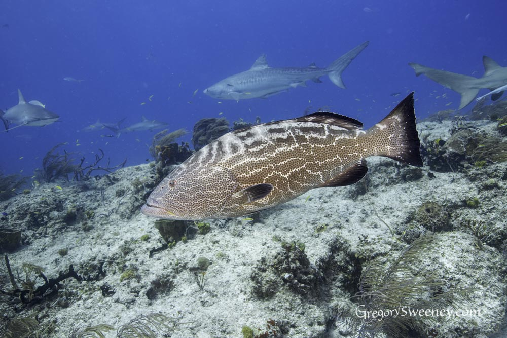 a grouper is attracted by the action