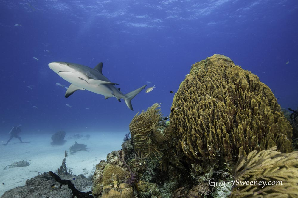 Caribbean reef shark poses over  a reef
