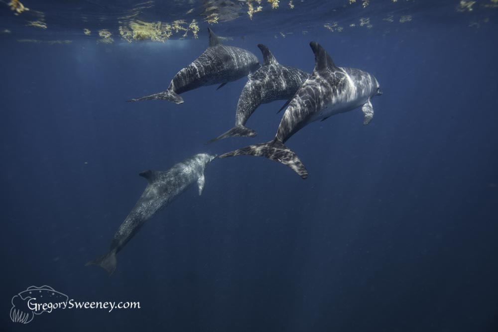 Dolphins hunt for fish hiding among the feeding whale sharks