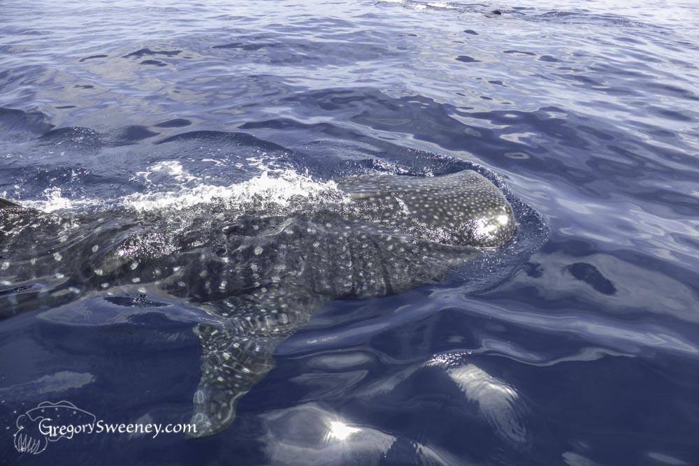 Whale shark charters