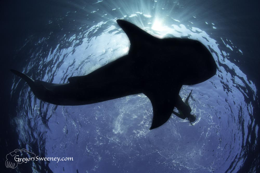 whale shark private charters for photographers