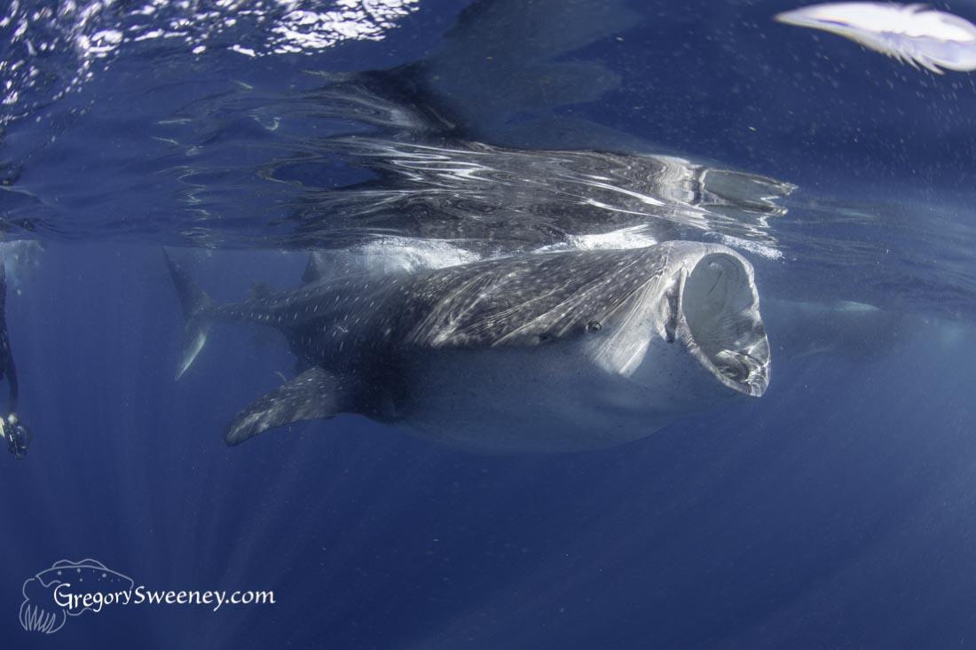 Whale shark charters for photographers