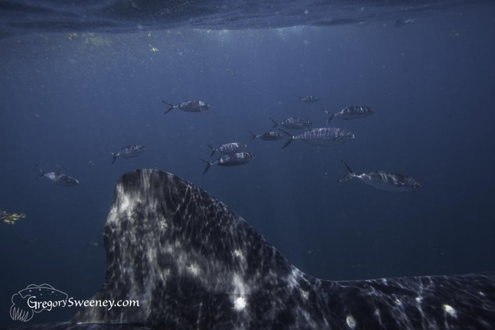 Small fish take shelter from predators around and under the whale sharks