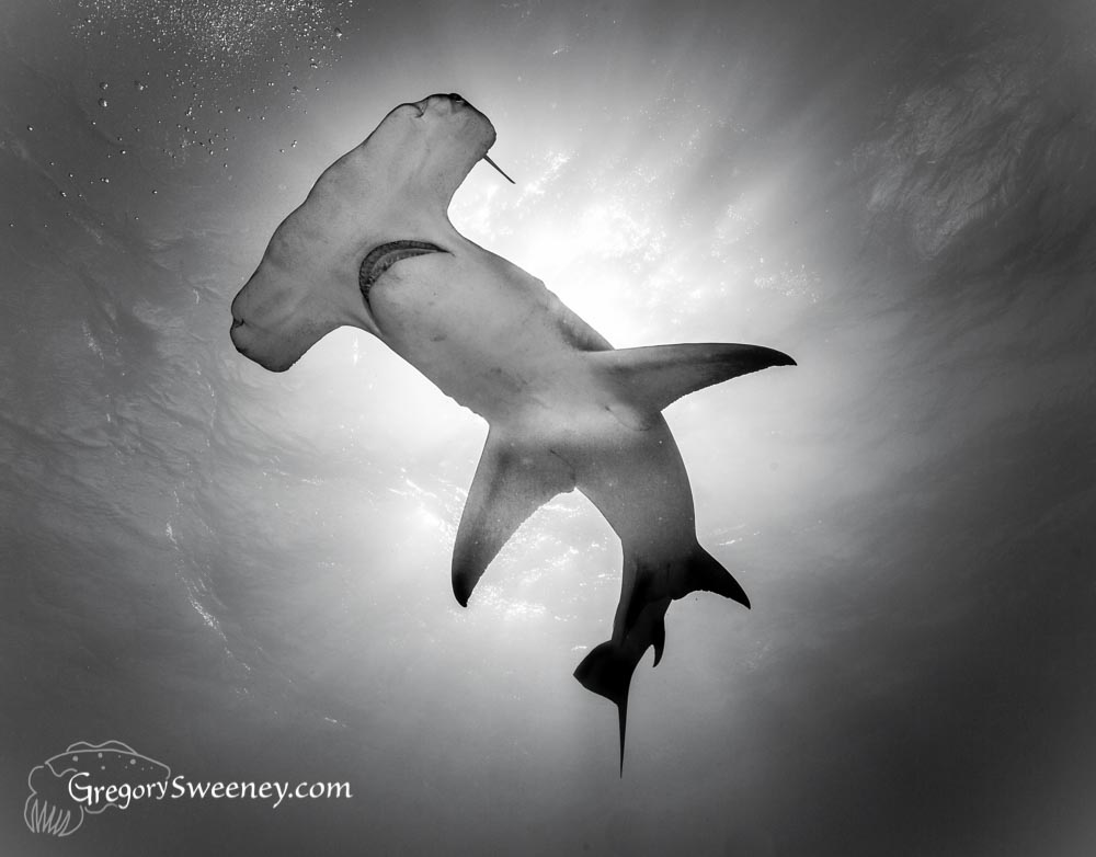 hammerhead Black and White in Lightroom