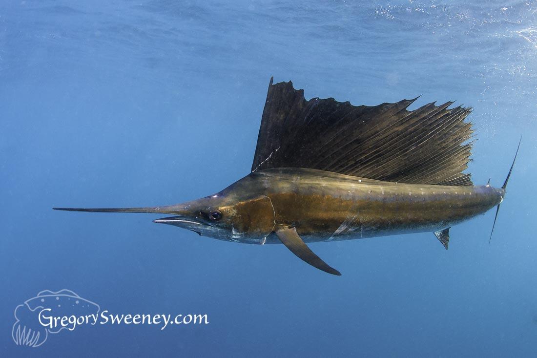 Sailfish and Sardine Run Isla Mujeres Mexico