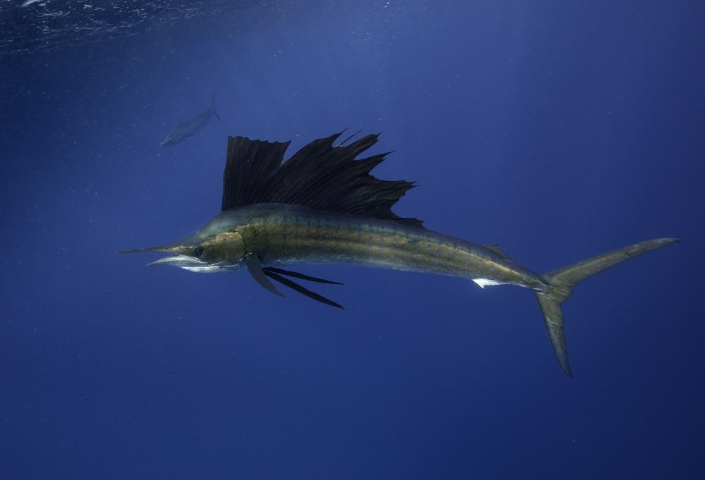 Sailfish in Mexico