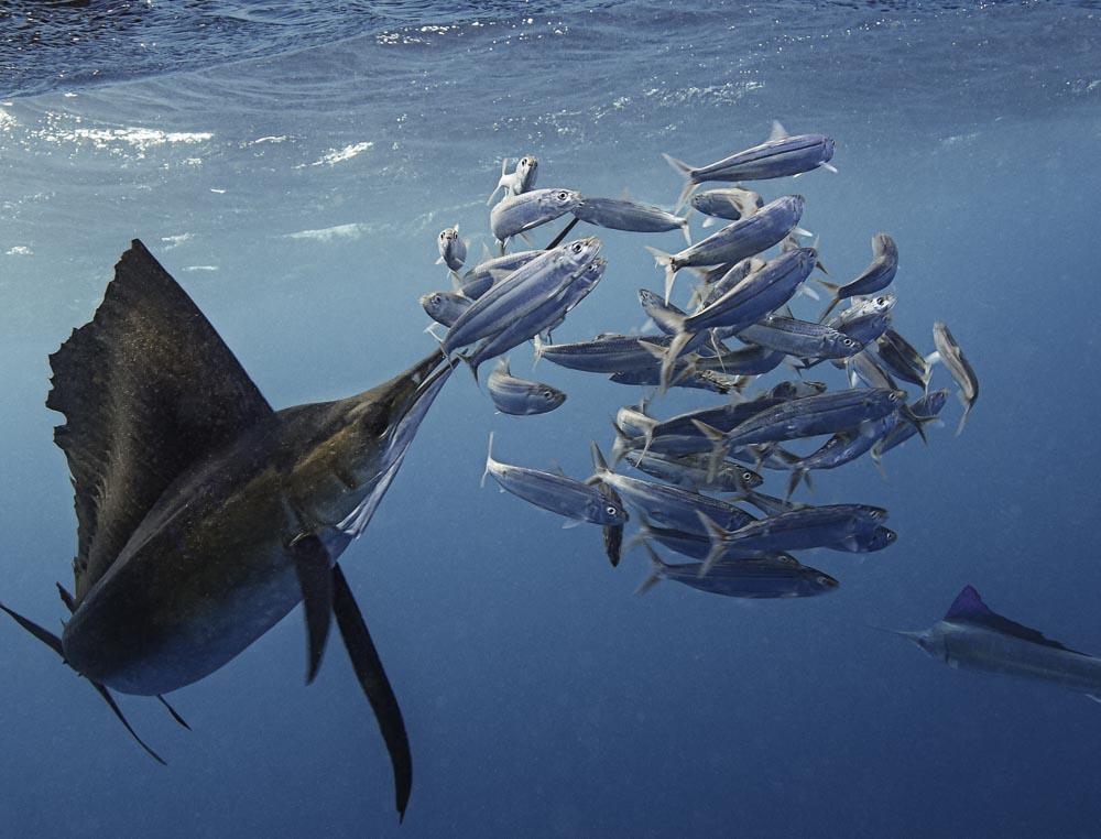 sailfish and sardines