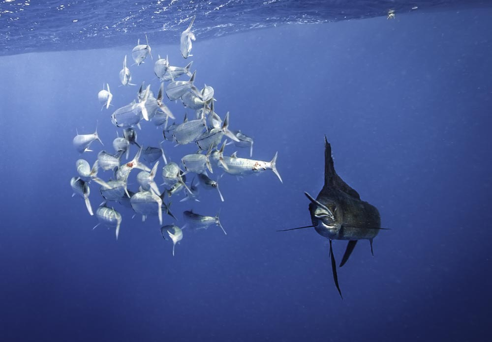 swim with billfish in Mexico