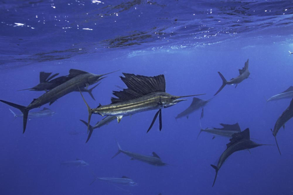 Sailfish hunting bait balls in Mexico