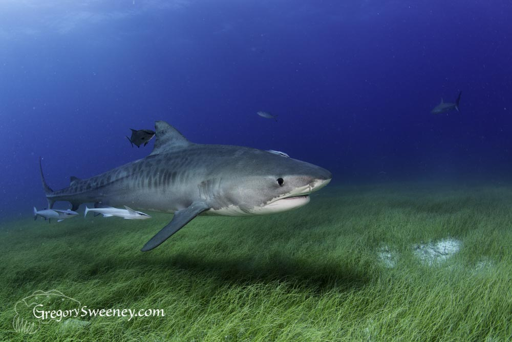 Tiger shark over green sea grass