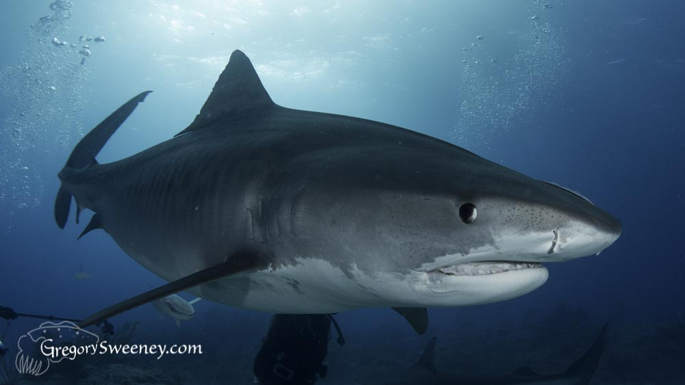 A tiger shark with a damaged mouth seems to snarl
