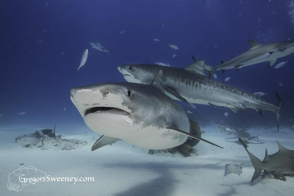 Two tiger sharks swim past divers