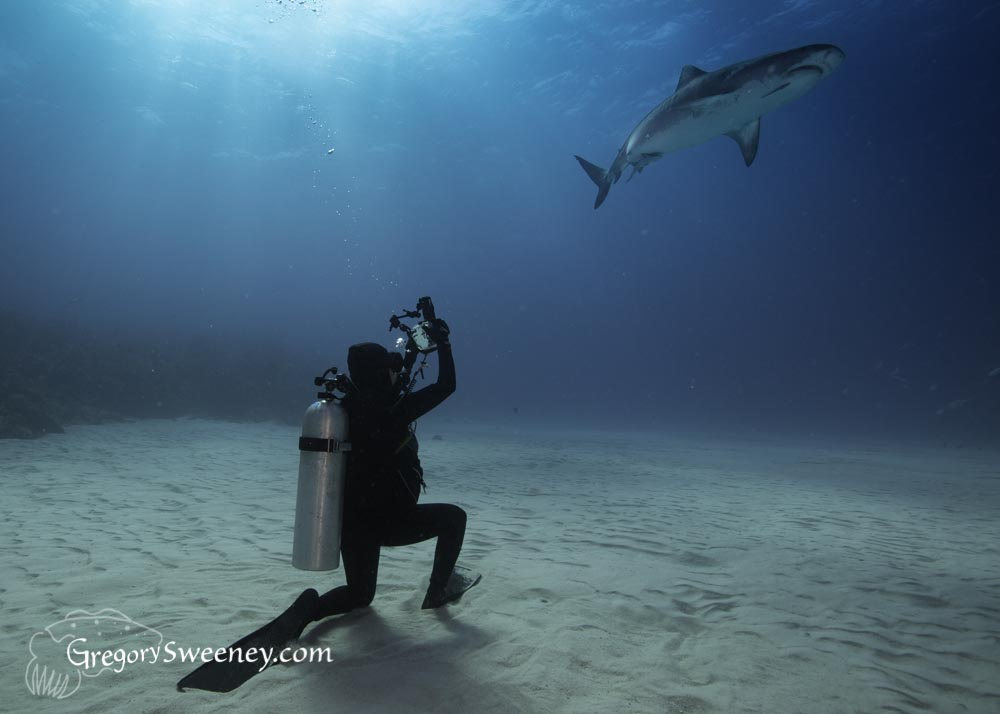 photographing tiger sharks in the Bahamas