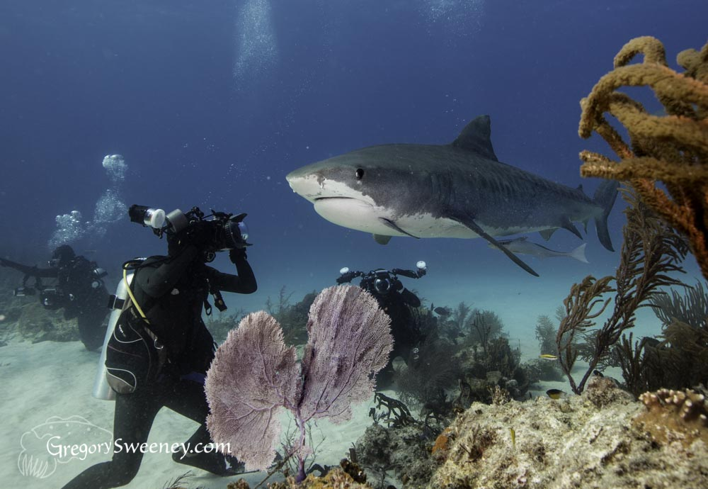 diving with tiger sharks near a Bahamas reef