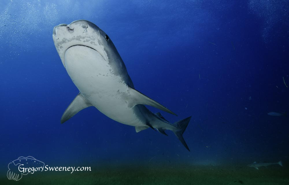 Tiger shark swims over eel grass