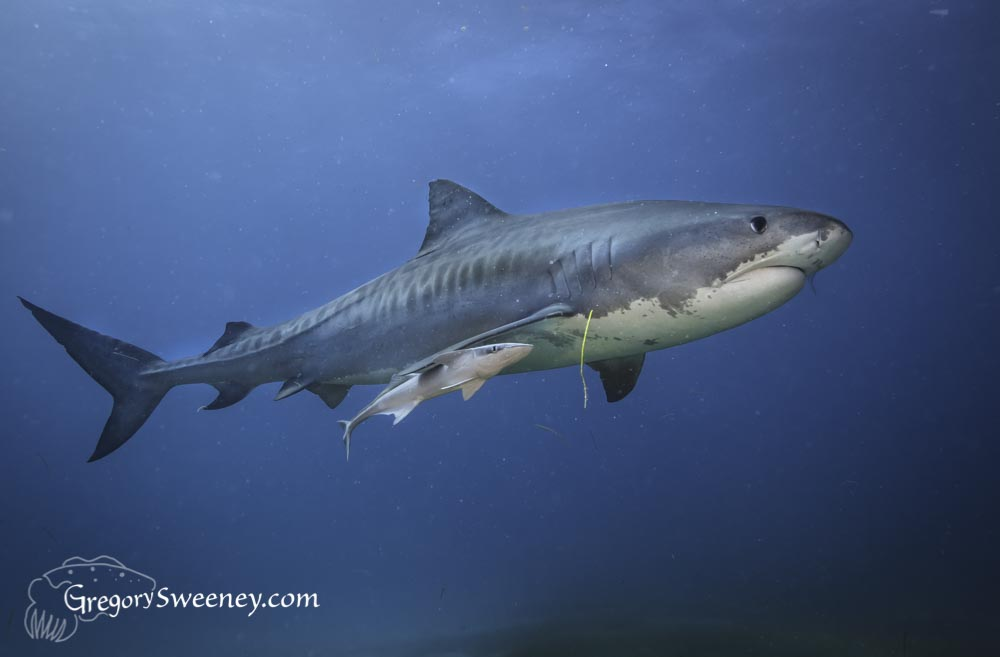 Tiger Shark with remora