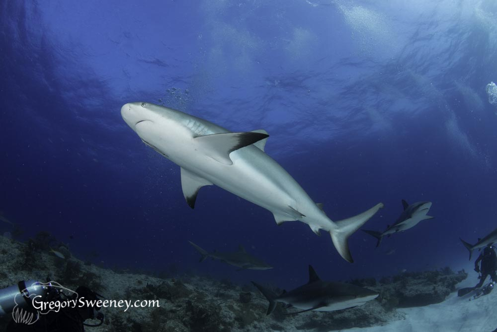 reef shark swims over a Bahamas reef