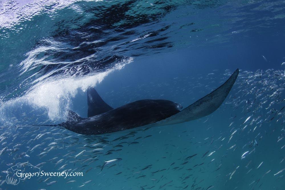 giant manta ray swimming