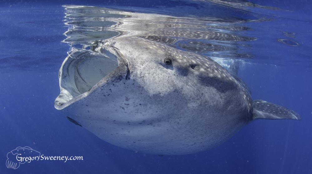 Whale shark charter isla mujeres