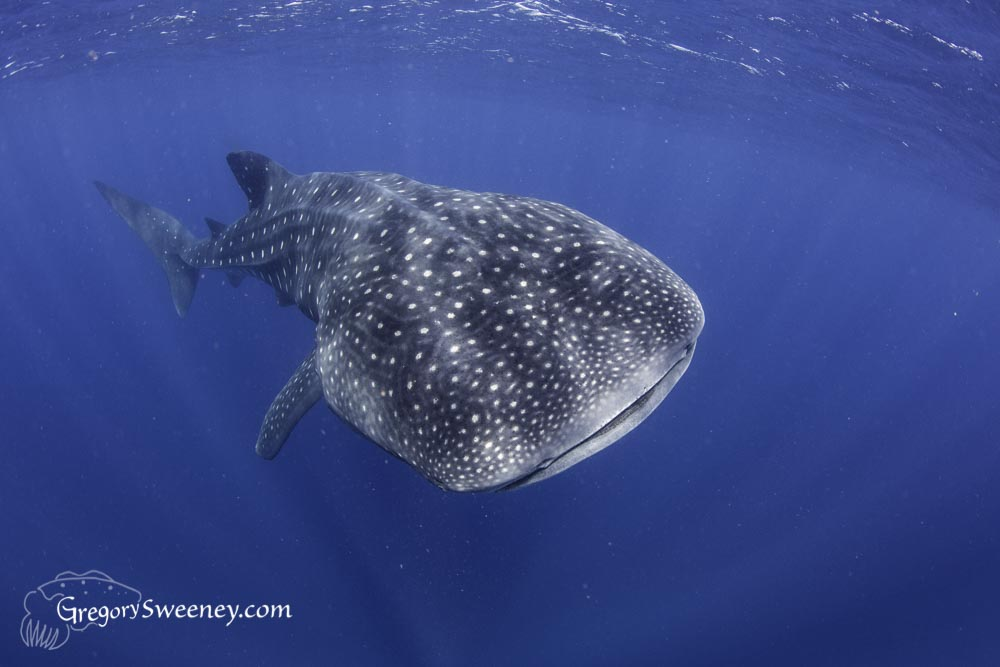 whale shark private charter Mexico